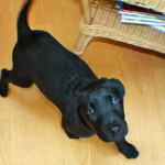 trudy the black lab puppy